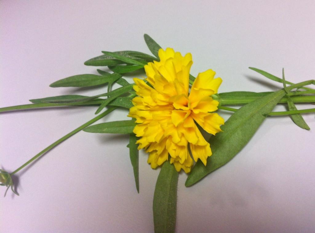 Coreopsis dye